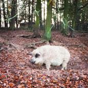 Wollschwein im Wildpark Schorfheide