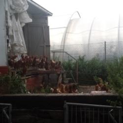 Hühner auf dem Biogut