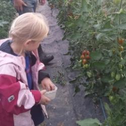 Tomatenernte auf dem Biogut