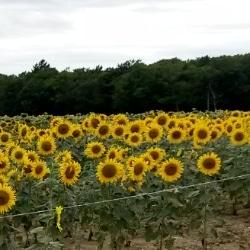Sonneblumenfelder in Limousin Frankreich
