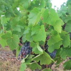 Beaujolais Trauben, Mit dem Wohnmobil auf einem Weingut in Frankreich, Marcy