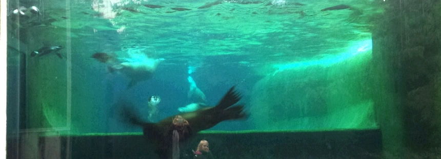 Robben im Artis Zoo Amsterdam