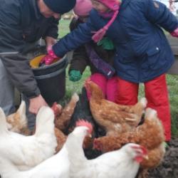 Hühner füttern auf dem Rügen ferienhof