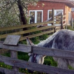 Reisen mit Eseln