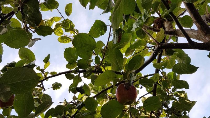 Wann ist zeit für die Apfelernte?