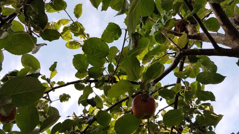 An apple a day keeps the doctor away! Es ist Apfelerntezeit in unserem Garten: Äpfel-DIY