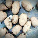 Schluss mit dem Coachpotato-Dasein und lieber Kartoffeln im Garten anpflanzen