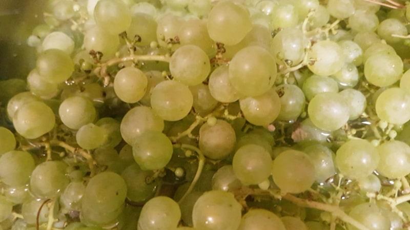 Weintrauben, Saft selber machen, Traubensaft, Entsafter, Einkochen, Kochrezepte, Garten, Ernte, selber machen