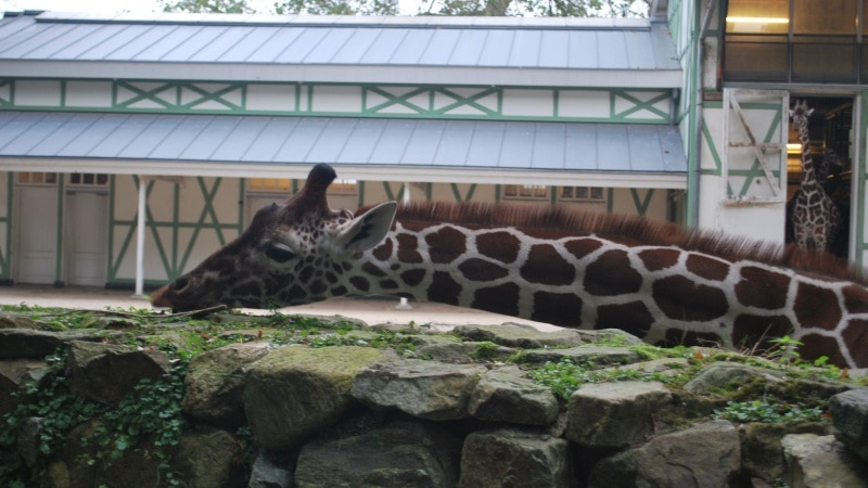 Artis Zoo, Amsterdam, Netherlands, Niederlande, Holland, Reien mit Kindern, Citytrip, Giraffe
