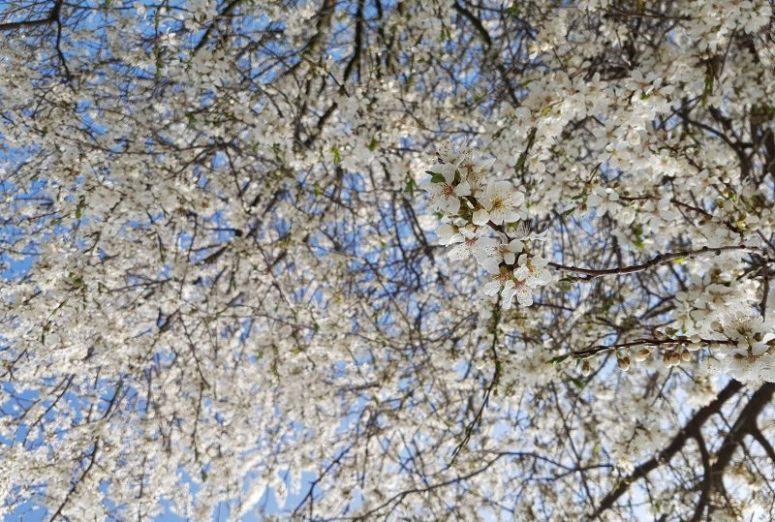 blütenbaum, naturfelder, naturschutz, insekten, insektensterben, insektenhabitat, umwelt, umweltschutz